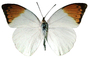 Orange-tip Butterfly, (Anthocharis cardamines), Pieridae, Philippines, photo-object, object, cut-out, cutout, Rhopalocera, OECV03P06_14F