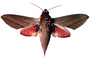 Levant hawk moth, (Theretra alecto), Sphingidae photo-object, object, cut-out, cutout, OECV03P07_06F