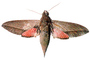 Levant hawk moth, (Theretra alecto), Sphingidae photo-object, object, cut-out, cutout, OECV03P07_07F