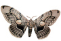 Owl Moth photo-object, object, cut-out, cutout, (Brahmaea wallichii), Brahmaeidae, OECV03P07_12F