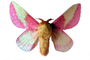 Rosy Maple Moth photo-object, object, cut-out, cutout