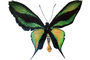 Paradise Birdwing Butterfly photo-object, object, cut-out, cutout, (Ornithoptera paradisea), Papilionidae, Troidini, Iridescent, OECV03P08_03F