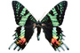 Madagascan sunset moth photo-object, object, cut-out, cutout, (Chrysiridia ripheus), Uraniidae, OECV03P08_05F