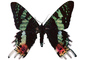 Madagascan sunset moth photo-object, object, cut-out, cutout, (Chrysiridia ripheus), Uraniidae, OECV03P08_06F