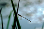 Dragonfly, Anisoptera, OEDV01P01_04.0891