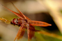 Dragonfly, Anisoptera, OEDV01P01_17.0891