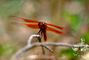 Dragonfly, Anisoptera, OEDV01P02_12.0891