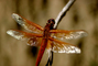 Dragonfly, Anisoptera, OEDV01P02_14.0891