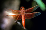 Dragonfly, Anisoptera, OEDV01P03_05.0891