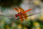Dragonfly, Anisoptera, OEDV01P03_08.0891