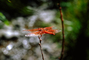 Dragonfly, Anisoptera, OEDV01P04_01.0891