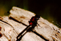 Dragonfly, Anisoptera, OEDV01P06_12.0891