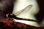 Fiore Lane, Occidental, Sonoma County, California, Dragonfly, Anisoptera