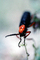 Blister Beetle, (Lytta magister), Meloidae, Meloinae, OEEV01P04_11