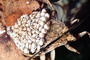 Giant Water Bug, Male with eggs on his back, Abedus sp., OEHV01P10_07