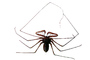 Tailess Whip Scorpion, Amblypygids, photo-object, object, cut-out, cutout, OERV01P04_16F