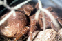 Goliath bird-eating spider (Theraphosa blondi), Araneae, Mygalomorphae, Theraphosidae, OESV02P14_09