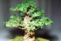 Chinese Elm (Ulmus parvifolia), 8 years training, Informal upright style, OFBV01P01_16
