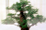 Chinese Elm (Ulmus parvifolia), 8 years training, Informal upright style, OFBV01P01_17