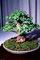 Chinese Elm (Ulmus parvifolia), 8 years training, Informal upright style, OFBV01P01_19