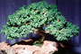 Kingsville Boxwood (Buxus microphylla), 4 years training Rock Planting, OFBV01P02_02