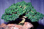 Kingsville Boxwood (Buxus microphylla), 4 years training Rock Planting, OFBV01P02_03