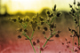 Star Thistle, OFFPCD0657_058B