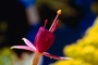 Columbine, Bell Shaped Flower, OFFV01P10_03.2849