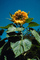 Sunflower, OFFV04P02_03.0607