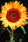 Sunflower, OFFV06P08_09.2854
