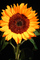 Sunflower, OFFV06P08_10.2854