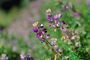 Tiny Flower, Lupine