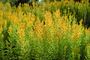 Goldenrod, Golden Rod