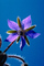 Shooting Star Flower, Occidental, California, Starflower, fuzz