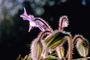 Shooting Star Flower, Occidental, California, Starflower, star, fuzz