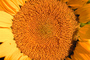 Sunflower, OFFV08P03_07.2855