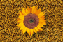 Sunflower, OFFV08P03_08
