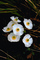 Fried Egg Flower, Coulter's Matilija Poppy, (Romneya coulteri)