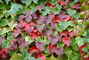 Ivy Wall, fall colors, Autumn, Colorful, Beautiful, Exterior, Outdoors, Outside