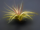Airplants, Epiphyte, Tillandsia, OFOD01_021