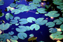 Lilly Pads, floating leaves, lake, pond, OFWV01P03_17B