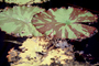 Toad Stool, lily pad, Toadstools, broad leaved plant, OFWV01P08_17