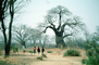 Children walking on a dirt path, Baobab Tree, Adansonia, curly, twisted, PLPV04P13_14